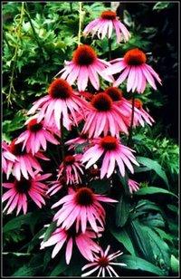 Echinacea Herb Extract