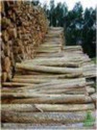 Eucalyptus Poplar Logs