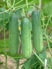 Cucumber Himani Seed