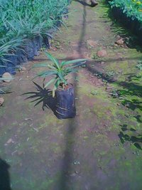 Ruhelia Pink Plant