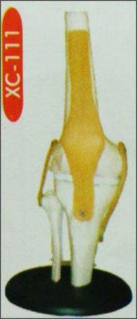 Knee Joint Model (Xc-111)