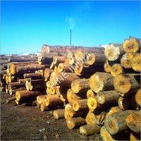 New Zealand Pine Logs
