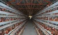Egg Chicken Layer Breeding Cages