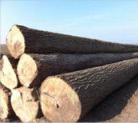 Poplar Logs