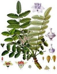 Natural Frankincense Oil