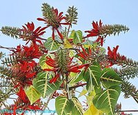 Indian Coral Tree Powder