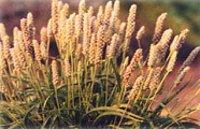 Psyllium Seeds Plant