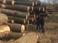 European Poplar Logs