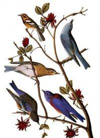 Audubon Blue Birds Painting