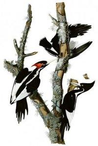 Campephilus Birds Painting