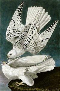 Falco Bird Painting