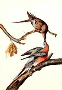 Pigeon Bird Painting