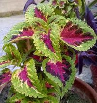 Coleus Plant Extract And Powder