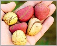 Kola Nuts