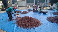 Processing Cocoa Bean