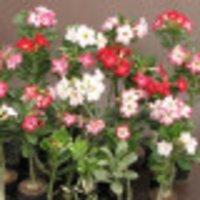 adenium plant - Wholesalers, Suppliers of adenium plant , India