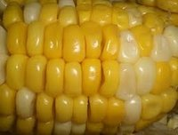Hybrid Double Cross White Maize