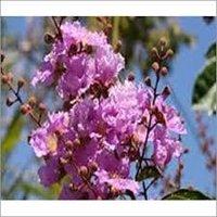 Banaba (Lagerstroemia Speciosa )
