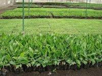 Fruit Seedlings