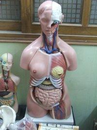 Human Body Torso Model