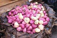 Fresh Kola Nuts