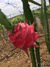 Red Flesh Dragon Fruit