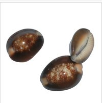 Colored Cowrie Shells