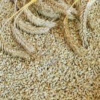 Whole Barley Grain