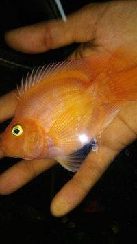 Parrot - Aquarium Fish
