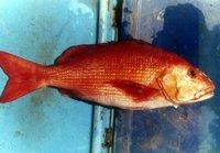 Bohar Snapper Fish