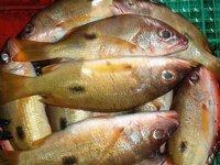 Golden Snapper Fish