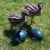 Perfectly Healthy Emu Chicks