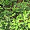 Fresh Gymnema Sylvestre Extracts
