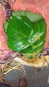 Banarsi Paan Betel Leaf