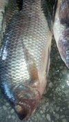Whole Round Tilapia Fish