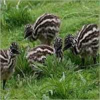 Emu Birds Chicks