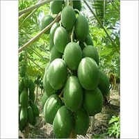 Papaya Tissue Culture Plant