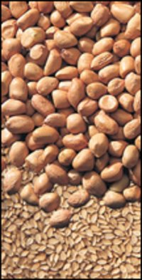 Ground Nut Kernels Seed