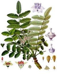 Fresh Boswellia Herbal Extract