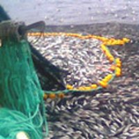 PURSE SEINE NETS