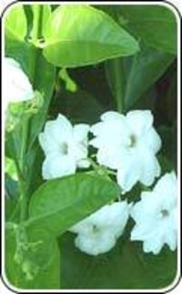 Jasmine Sambac Floral Extract