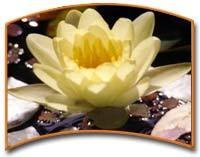 Lotus Absolute Essential Oil