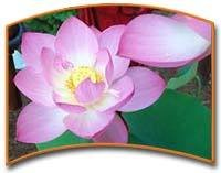 Pink Lotus Absolute Essential Oil