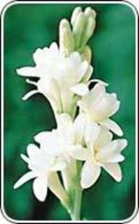 Tuberose Fragrance