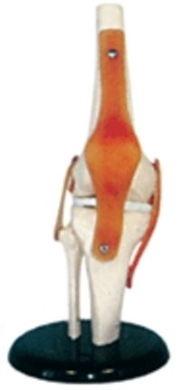 Knee Joint Models