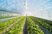 Paclobutrazol Greenhouse