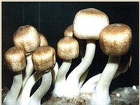 Agaricus Blazei Extract-Polysaccharides And Steroids