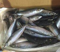 Fresh and Frozen Horse Mackerel Fish