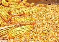 Organic Yellow Corn Maize