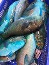 Fresh Frozen Parrot Fish